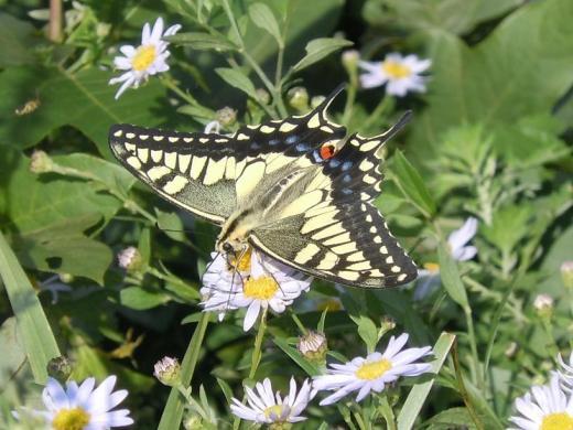 2010.09.26皿倉山山頂にいたアゲハ蝶13