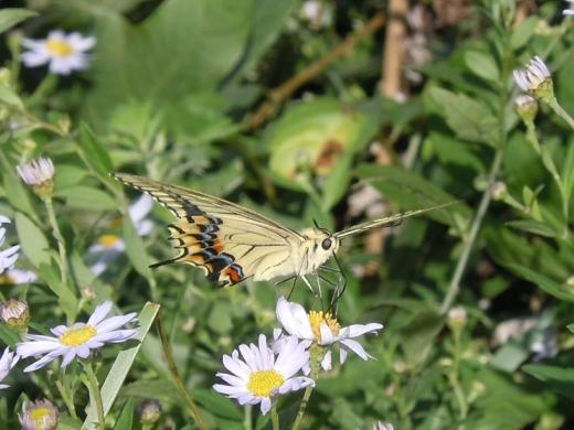 2010.09.26皿倉山山頂にいたアゲハ蝶14