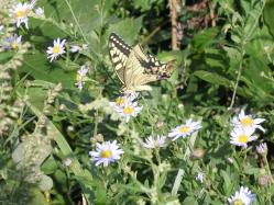 2010.09.26皿倉山山頂にいたアゲハ蝶11