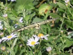 2010.09.26皿倉山山頂にいたアゲハ蝶15