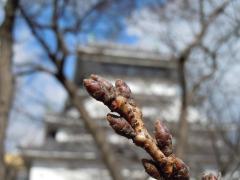 2011.02.15 小倉城(桜の蕾)5