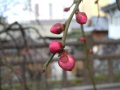 2011.02.15 小倉城(しだれ梅)20