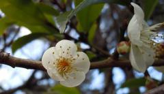 2011.02.15 小倉城(白梅)