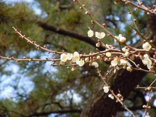 2011.02.15 小倉城(白梅)30