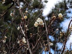 2011.02.15 小倉城(白梅)24