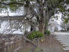 2011.02.15 小倉城(しだれ梅)14
