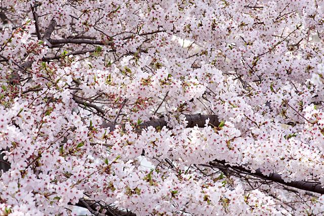 110410_001_桜