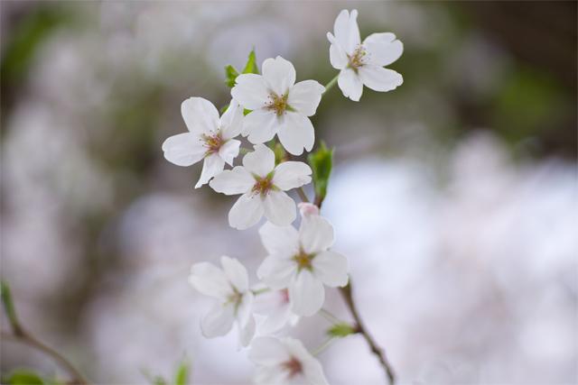 110410_003_桜