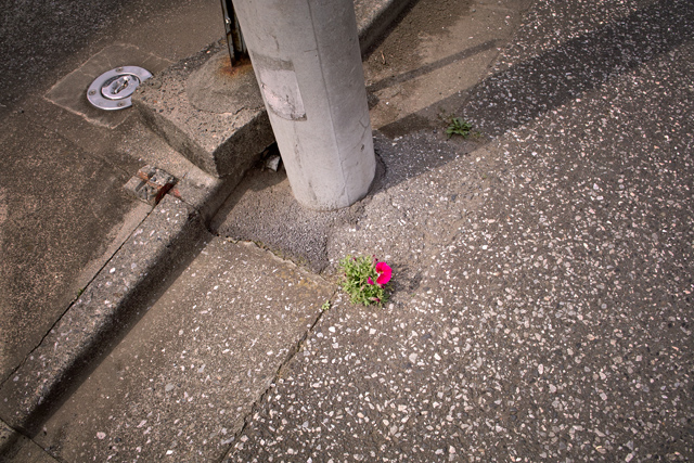 110604_001_道端の花