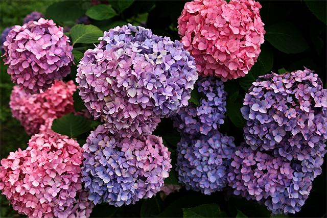 110619_003_紫陽花