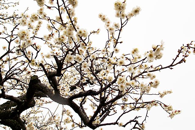 120318_002_梅の花