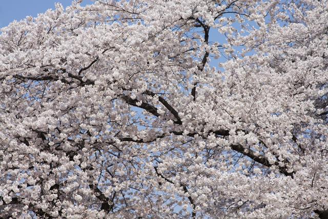 120409_001_桜