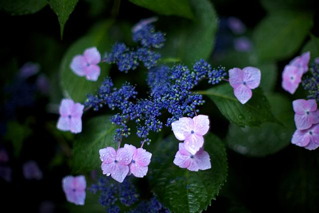 120609_001_紫陽花