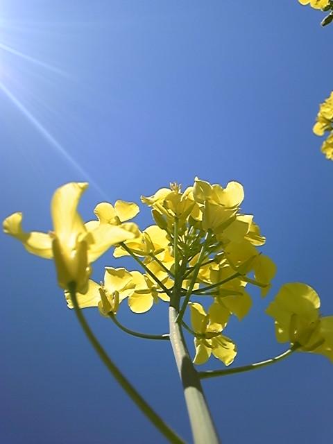 青空菜の花