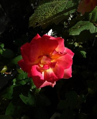h26秋アンネのバラ