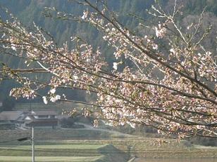 2012sakura.jpg