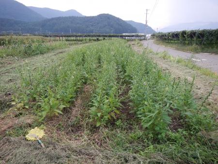 桔梗農場片付け (2)