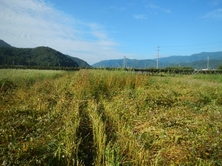 蕎麦刈 (3)