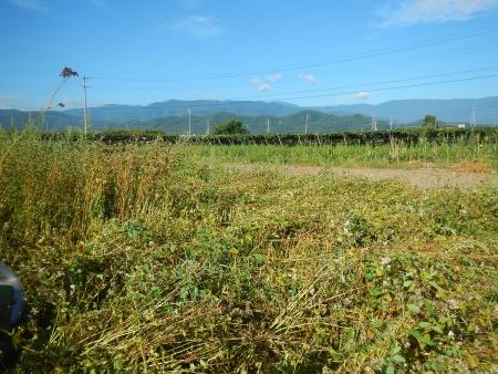 蕎麦刈 (2)