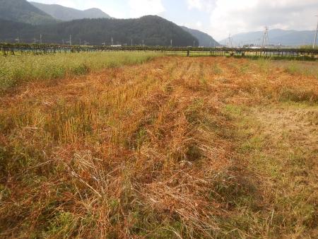 蕎麦の脱穀作業 (4)