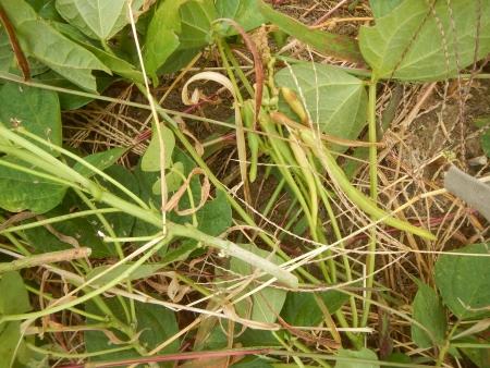 小豆 (6)