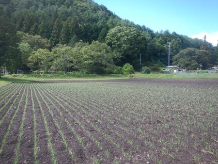 かえで小麦 (3)