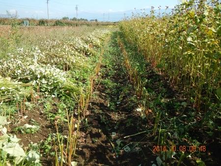 蕎麦の刈り取り (2)