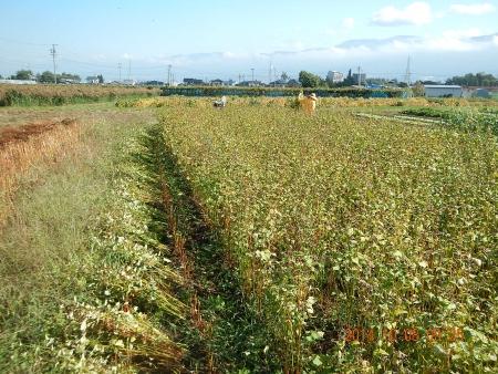 蕎麦の刈り取り (1)