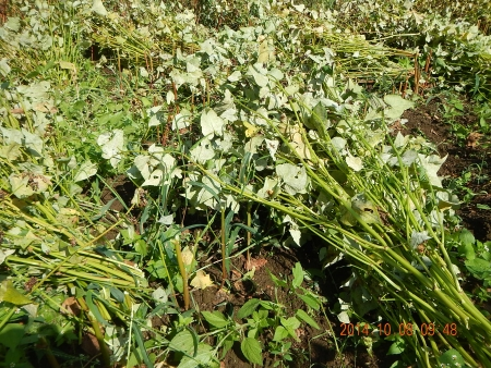 蕎麦の刈り取り (3)