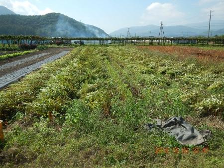 蕎麦の刈り取り (4)