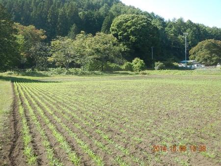 南部小麦 (4)