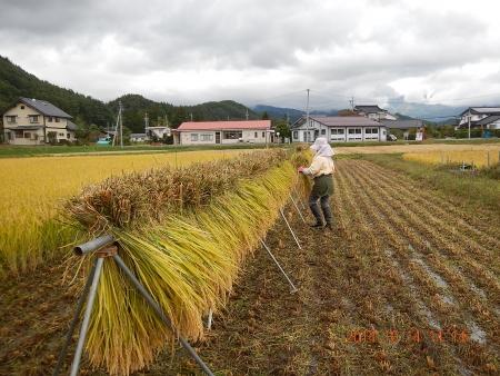 稲刈り (7)