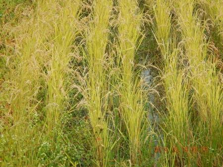 稲刈り (2)
