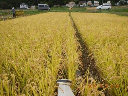 稲刈り (10)