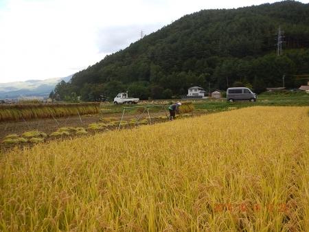 稲刈り (8)