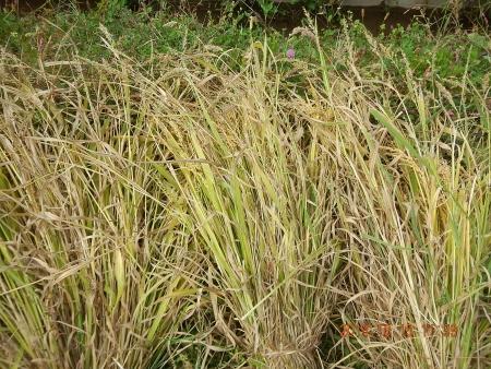 稲刈り作業 (7)