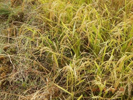 稲刈り作業 (4)