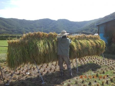 稲刈り作業 (3)