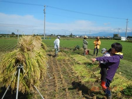 稲刈り作業 (2)
