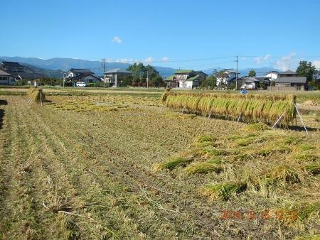 稲刈り (13)