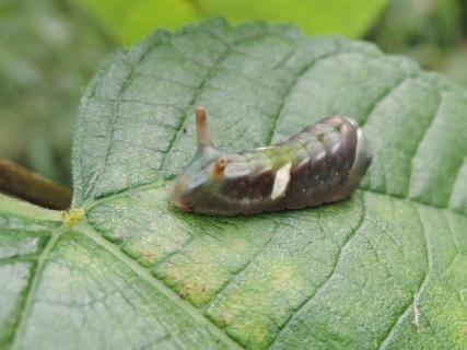 ウラギンシジミ終齢幼虫