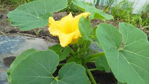 カボチャの花6.8