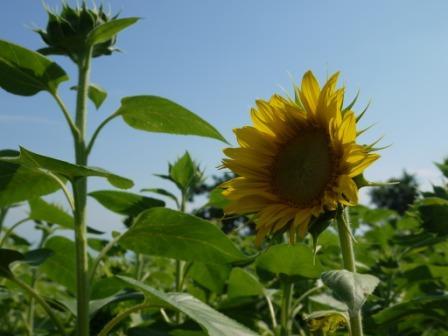 2012.08.22開花ひまわり