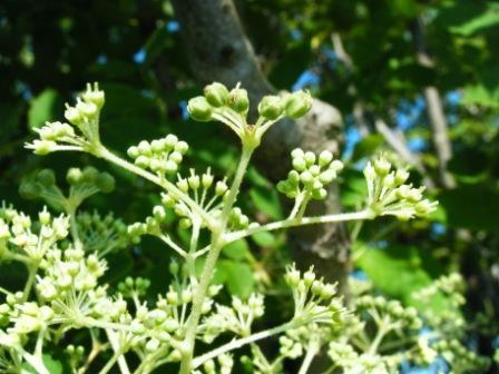 タラの木の花8.26