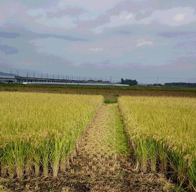 20141012稲刈り
