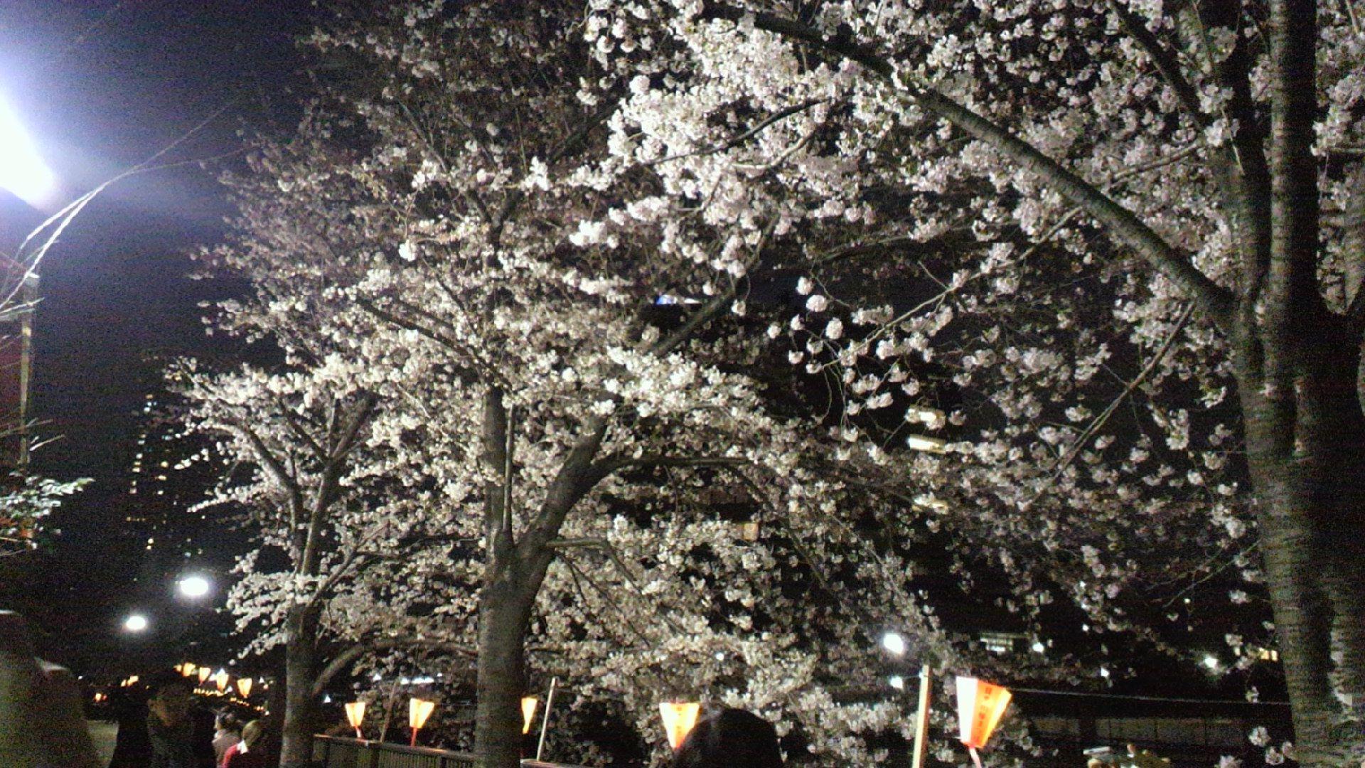 目黒川桜まつり2