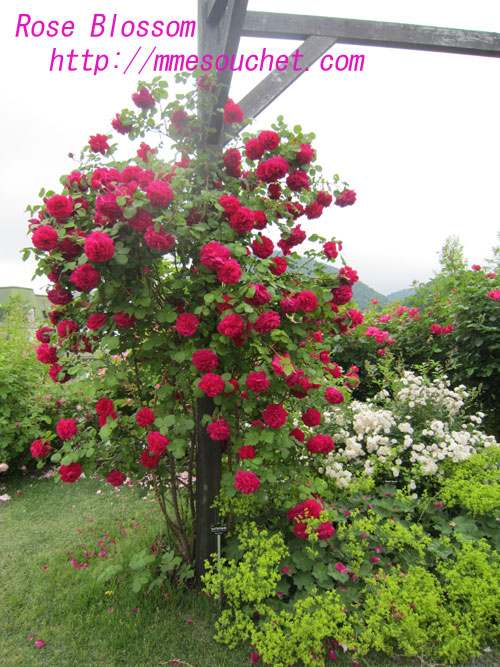 rose201006281.jpg
