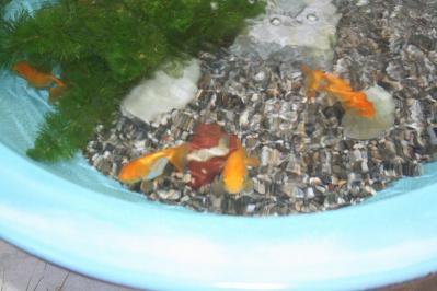 s-金魚20100805 003