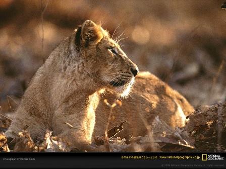 asian-lion.jpg