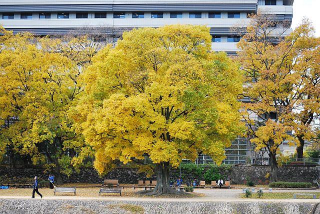 府立医大の木